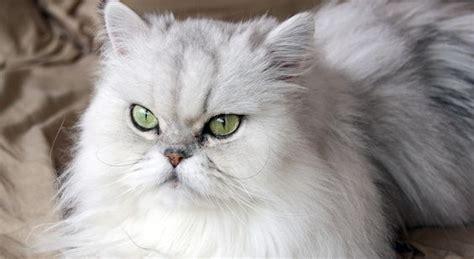 gatti persiani chinchilla gatto chinchilla caratteristiche