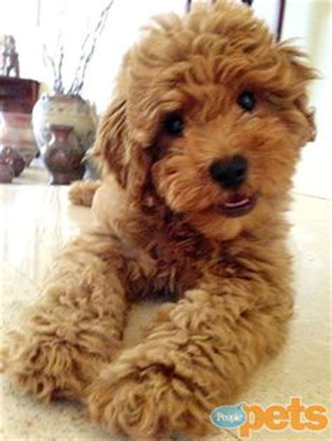 mini goldendoodle how big do they get goldendoodle cortes de cabelo and segundas feiras on