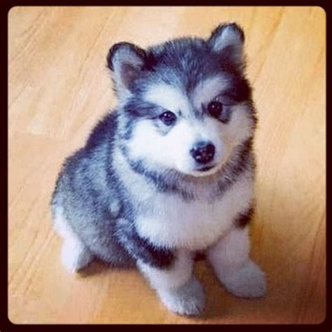 teacup husky pomeranian mix my pomeranian and husky mix animals
