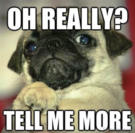 tell me about pugs 30 pug meme images that make you laugh picsmine