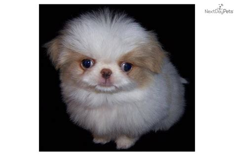japanese chin puppies for sale japanese chin puppy for sale near fort wayne indiana 4735e6e8 7df1