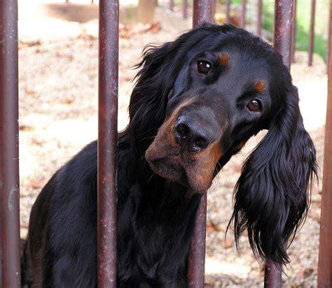 gordon setter dog names 50 best images about gordon setter dog art portraits