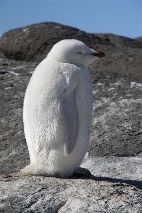 White Pinguin by Beche Report 4 Australian Antarctic Division