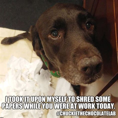 Chocolate Lab Meme - 159 best chuckie the chocolate lab images on pinterest