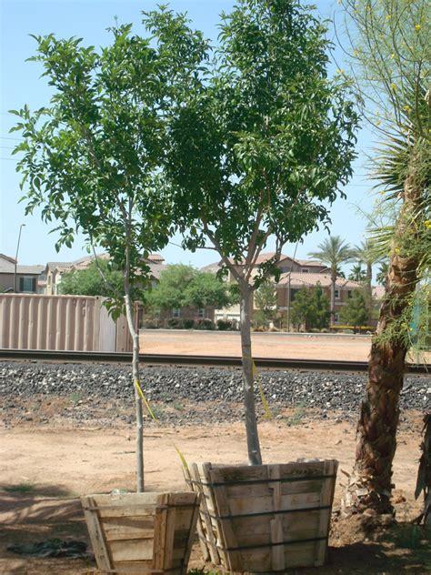 fan tex ash tree arizona tree nursery thenurseries