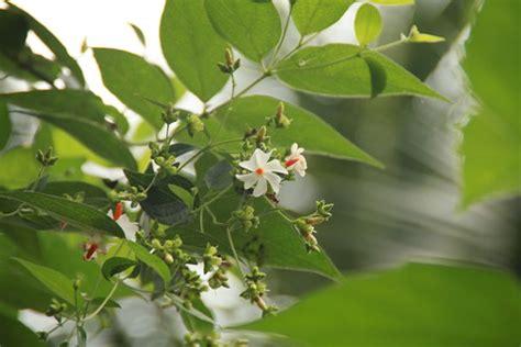 benefits  night jasmine