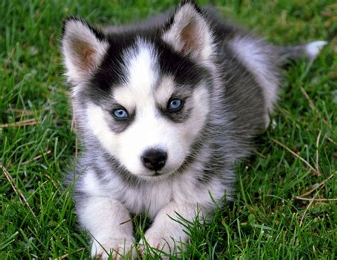 how much are husky puppies worth pet supplies for dogs and cats rosyandrocky tips how to potty a husky puppy