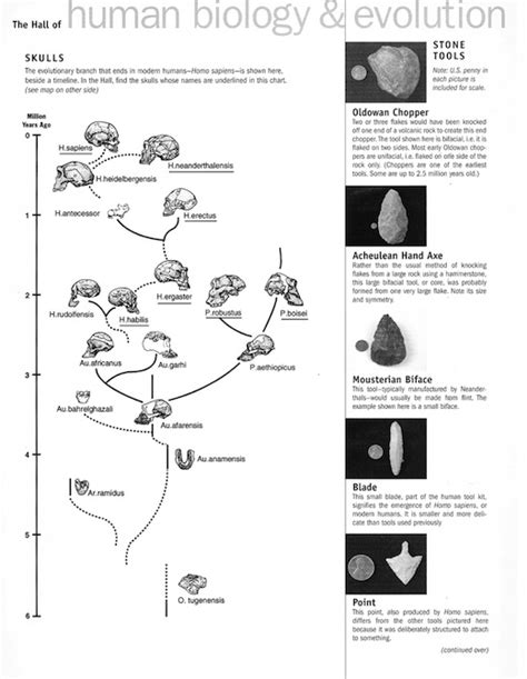 Evolution Worksheets by Human Evolution Worksheet Photos Gavilles