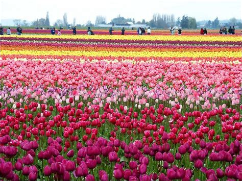 tulip feilds wallpapers unlimited beautiful tulip fields in holland