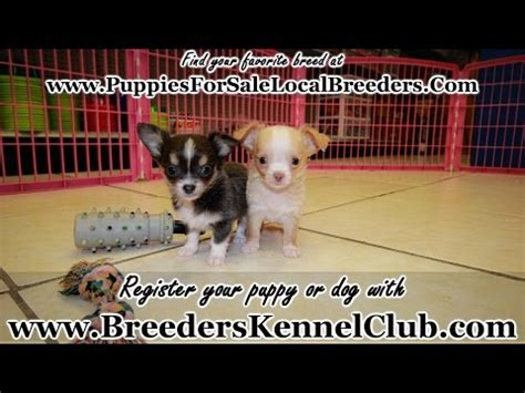 puppies for sale in murfreesboro tn chihuahua puppies for sale local breeders funnydog tv