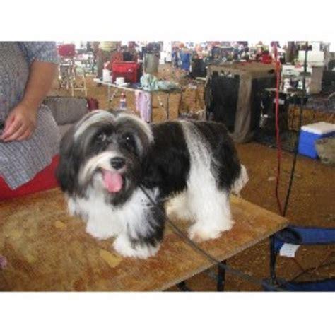 havanese breeders tennessee morningstar valley farm havanese breeder in corryton tennessee listing id 20317