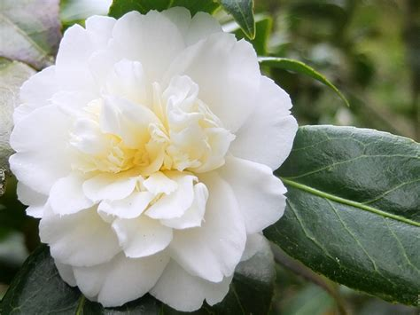 white mansize camellia
