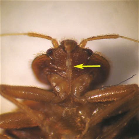 cdc bed bugs bed bugs close up www pixshark com images galleries