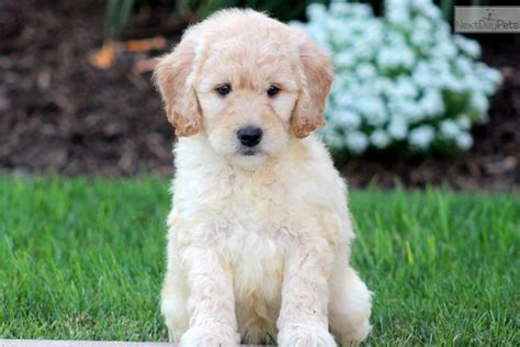 mini goldendoodles lancaster pa dogs and puppies for sale and adoption oodle marketplace