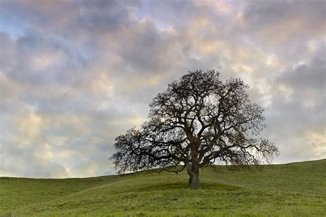 Sets For The Tree - lone oak 2 lafayette california smith photography