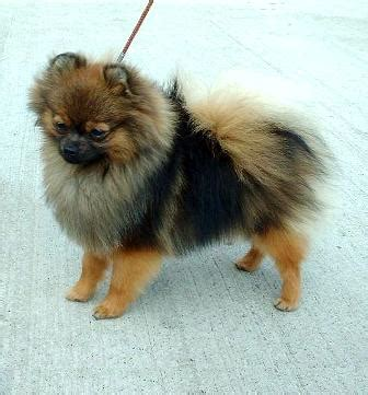 pomeranian breed history pomeranian breed information history health pictures and more