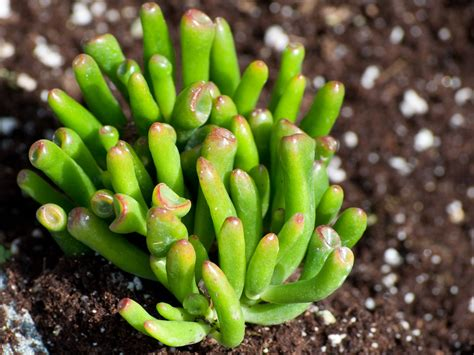 Lu Fogl growing and caring for crassula plants