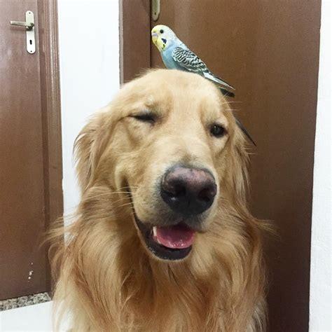golden retriever instagram golden retriever and unlikely friends are hit