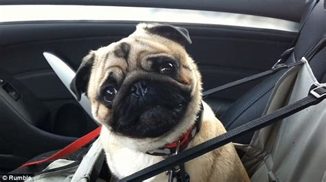 pugs in the car when this pug found out that he was going to petsmart his reaction was priceless