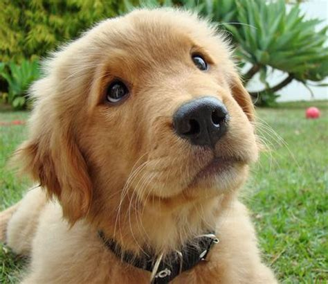 how to your golden retriever puppy dax the golden retriever puppies daily puppy