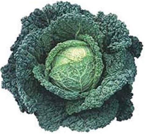 come si cucina la verza come preparare ricette fotografate con il cavolo verza