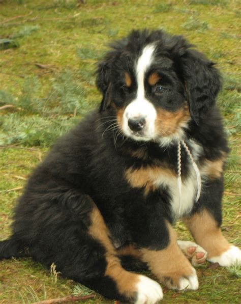 bernese mountain puppies cost bernese puppy picture png hi res 720p hd