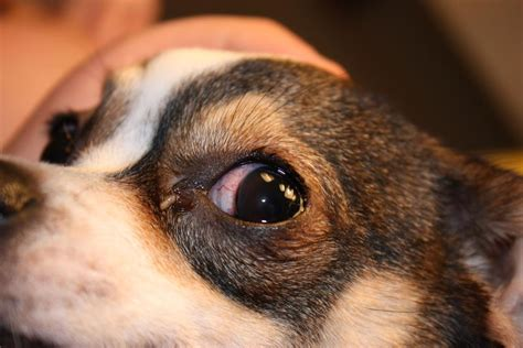 puppy eye infection pin report canine eye problems solutions on