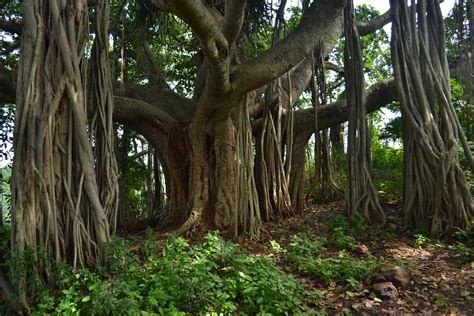 Tropical Forest Plant - ficus benghalensis images useful tropical plants