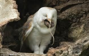 What Do Barn Owls Eat ネズミを丸呑みするフクロウが激写され怖ッと話題にッ ウホ速報