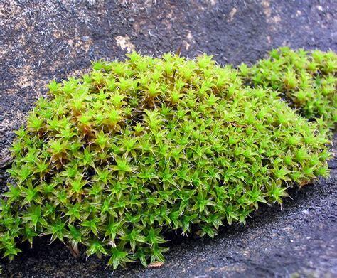 Syntrichia – Wikipedia Ludwigia Repens