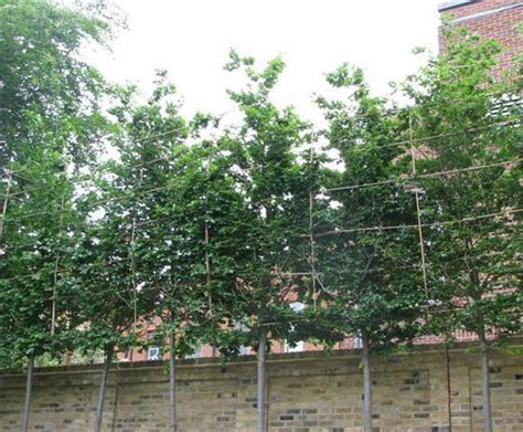 bespoke screening trees ruskins trees and landscapes esi external works