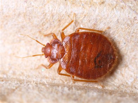 can you see bed bugs with the naked eye how to tell if you have bed bugs