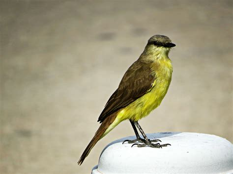yellow chest little bird wallpapers and images