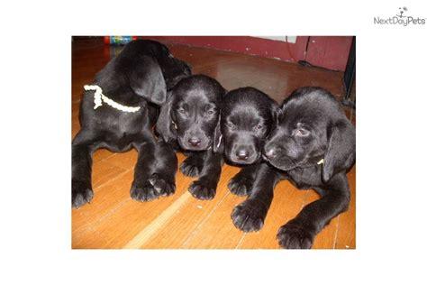 half lab half golden retriever puppies for sale meet a labrador retriever puppy for sale for 325 akc black labs in
