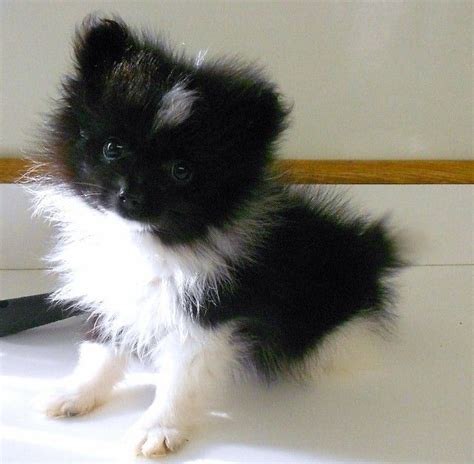 pomeranian puppies for free adoption in hyderabad the 25 best cats for sale ideas on baby cats for sale