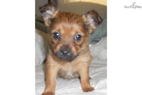 yoranian puppies for sale terrier yorkie puppy for sale near binghamton new york cc078fdb 8e51