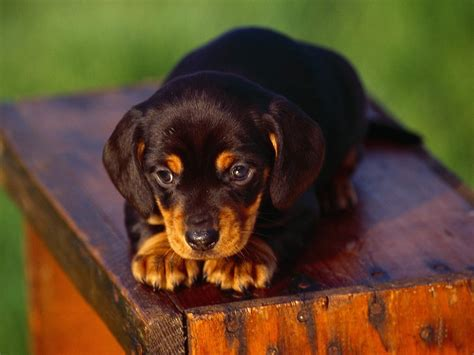 dachshund pictures dachshunds images dachshunds hd wallpaper and