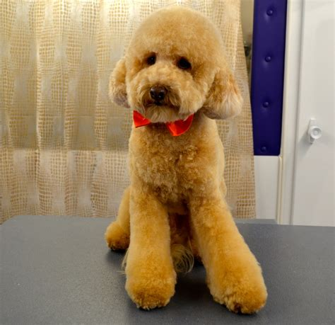 doodle puppy cut poodle haircuts step by step newhairstylesformen2014