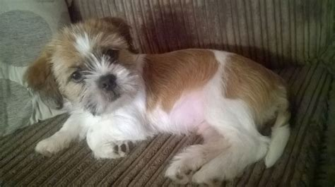 shih tzu mix breeds shih tzu mix is this really a breed mixed breeds