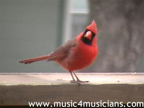 cardinal mating call and video