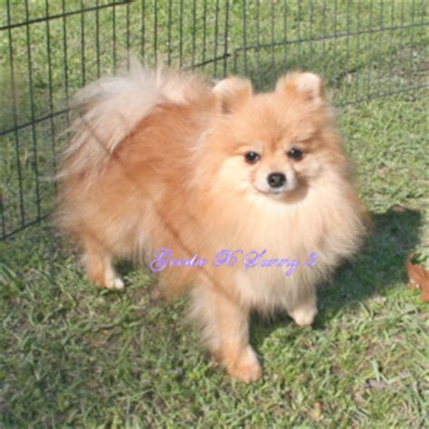yorkie pom mix puppies for sale pomeranian yorkie mix puppies for sale