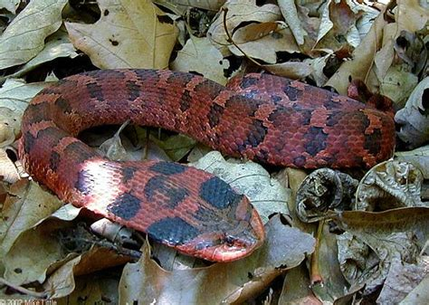27 best reptiles and hibians images on pinterest snakes ssssssnnnaaakkkessssss pinterest