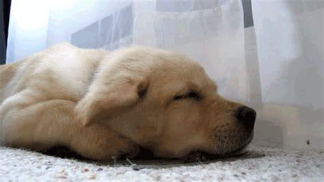 sleepy puppy gif sleeping gif find on giphy