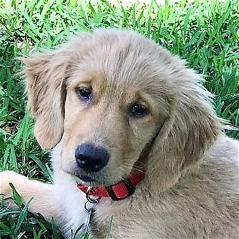 golden retriever rescue florida golden retriever rescue volusia county florida photo