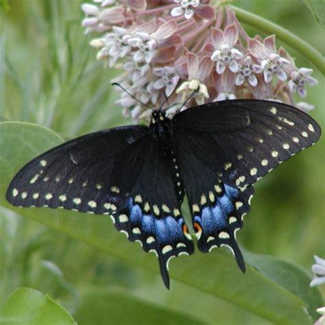 black swallowtail butterfly black swallowtail