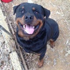 rottweiler puppies in arkansas 1000 images about rottweiler breeders on rottweiler puppies for sale