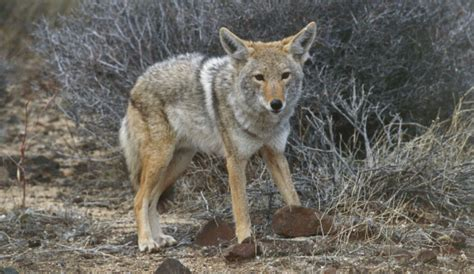 coyote hybrid coywolf why are coyotes with wolves and wolf hybrids photos