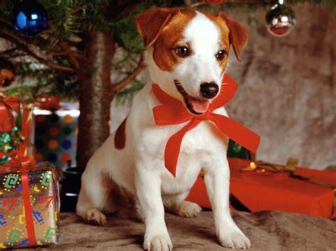 christmas wallpaper with dogs christmas dog wallpaper teddybear64 wallpaper 17381711