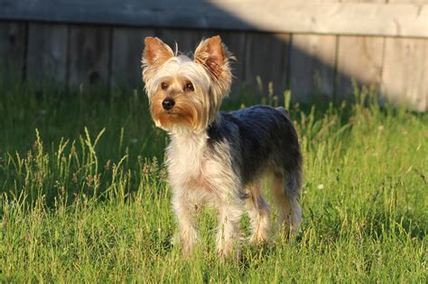 9 month yorkie yorkie pin breeds picture