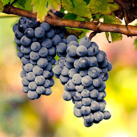 Grow Your Own Grape Vines by Plant Gifts Grow Your Own Black Grape Vine By Giftaplant